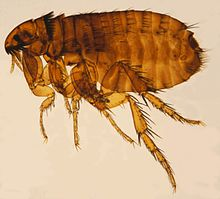 dundee flea control