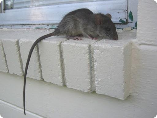 mice control angus